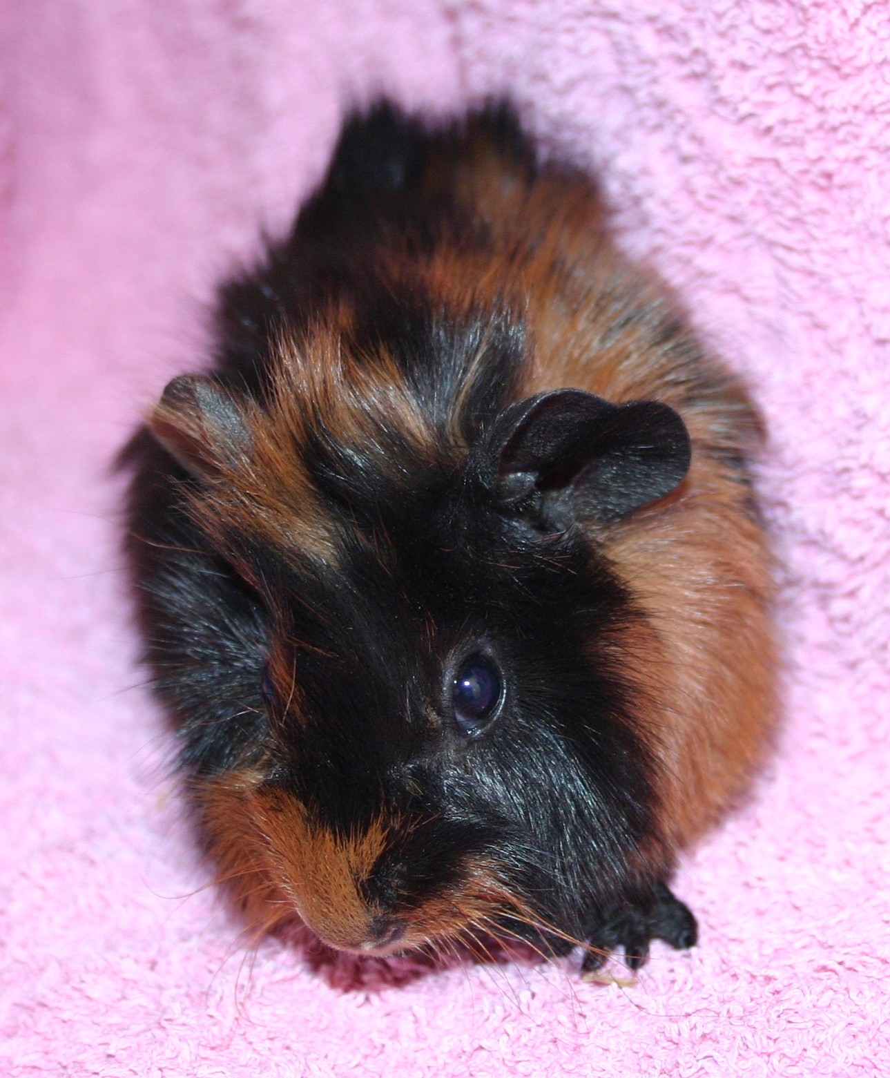 W Midlands cute baby guinea pigs - Reptile Forums