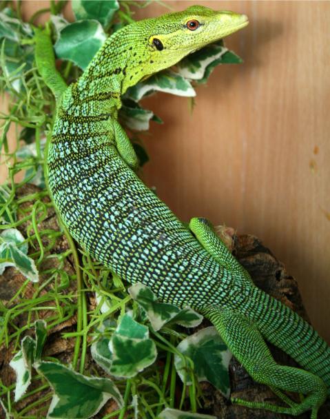 Monitor Lizards (Varanus): Emerald Tree Monitor Lizard