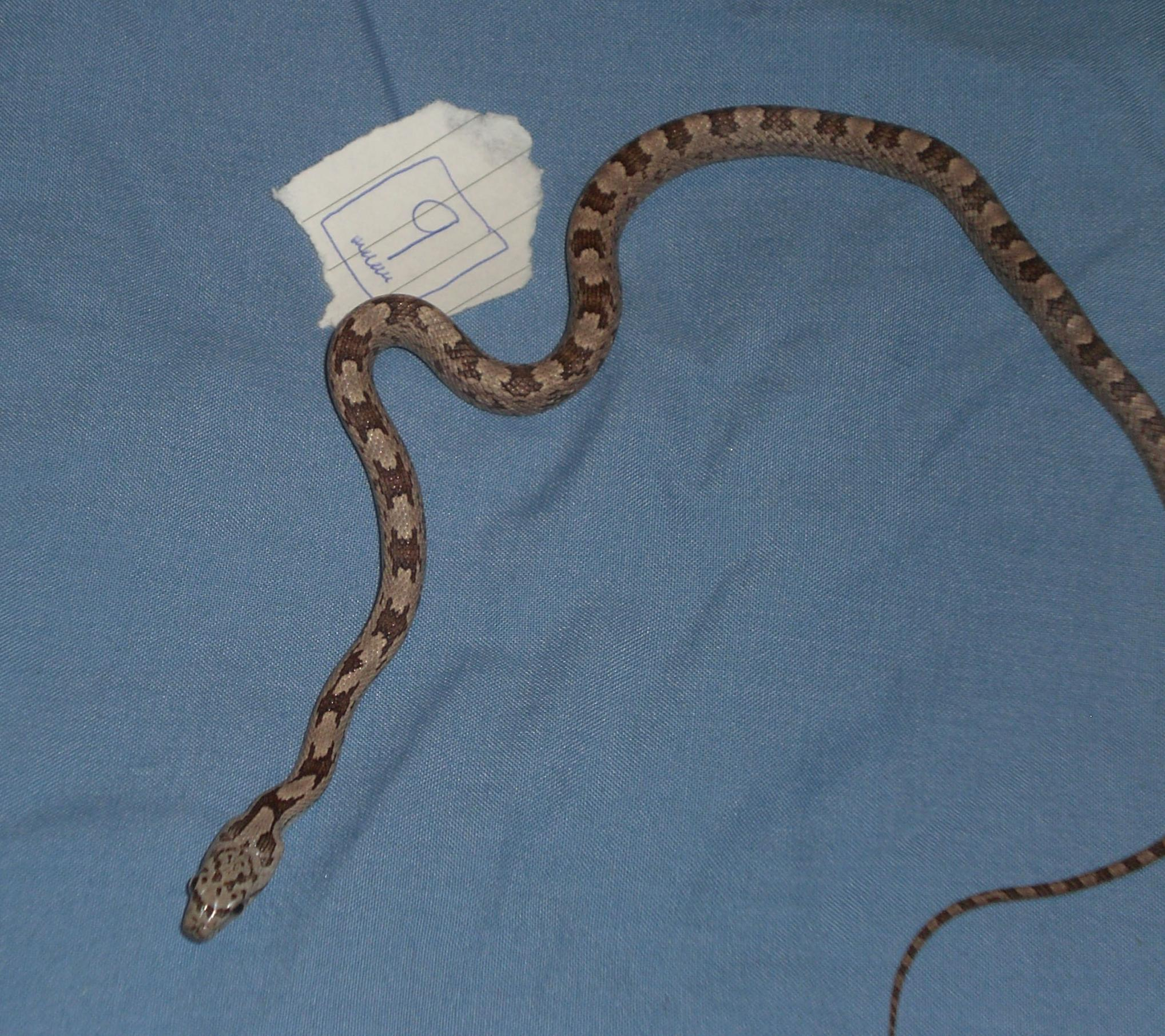 Eastern Grey Rat Snakes Reptile Forums