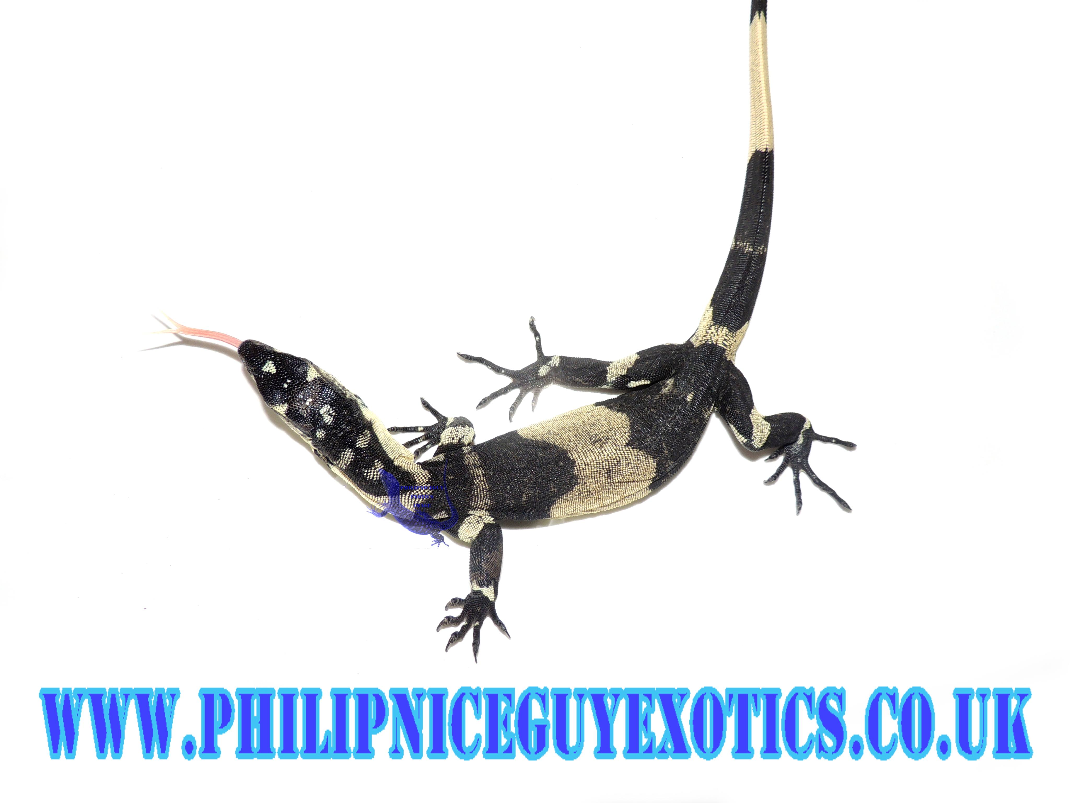 Lace monitors and other varanus species available now-received_1014923058657874_1521776905320.jpeg