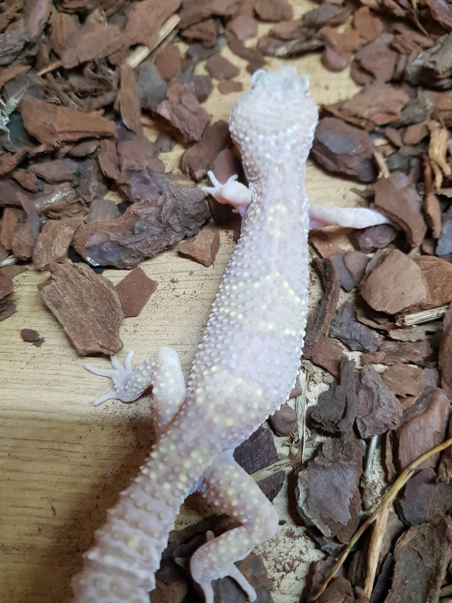 Choosing Leopard Gecko morphs-received_628940840774731_1525534635117.jpeg