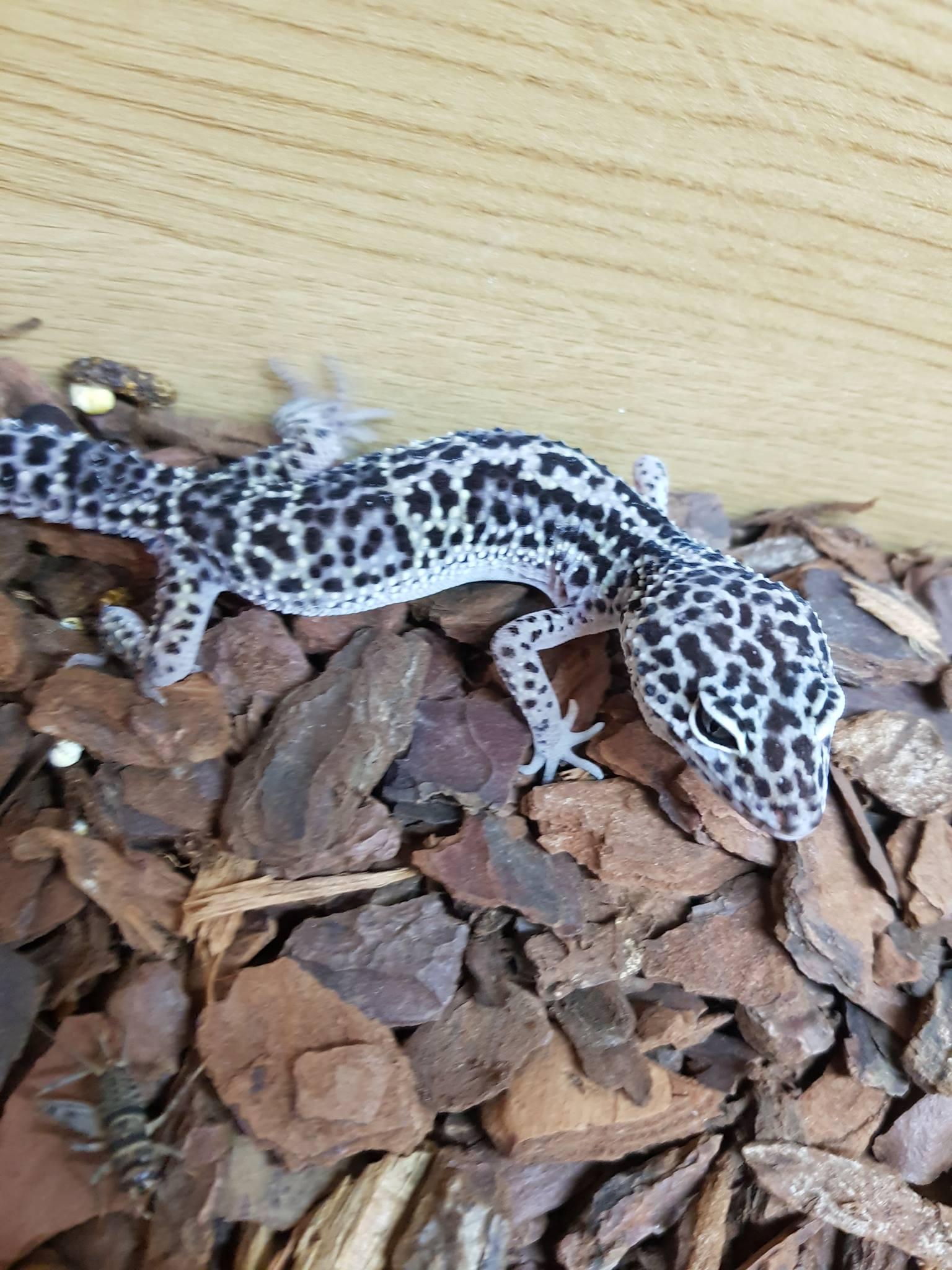 Choosing Leopard Gecko morphs-received_628940844108064_1525534648887.jpeg
