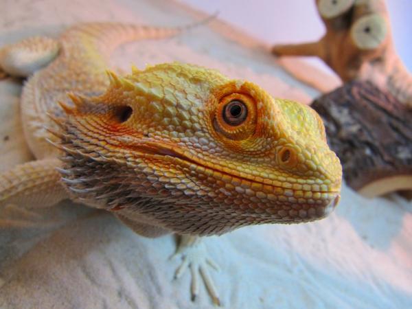 Tangerine Bearded Dragon &HK63 – Advancedmassagebysara