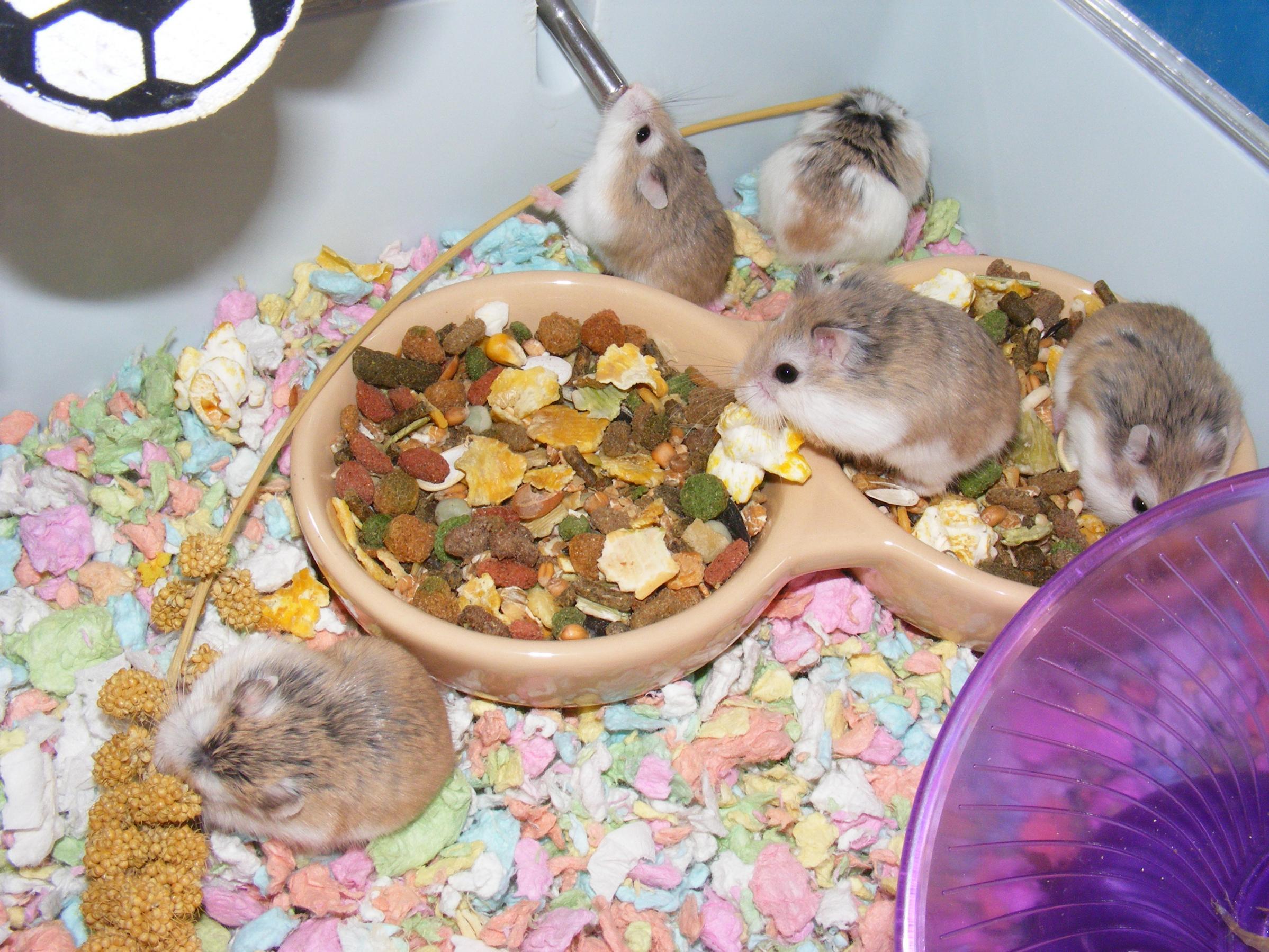Dwarf Roborovski Hamsters-robos-group.jpg