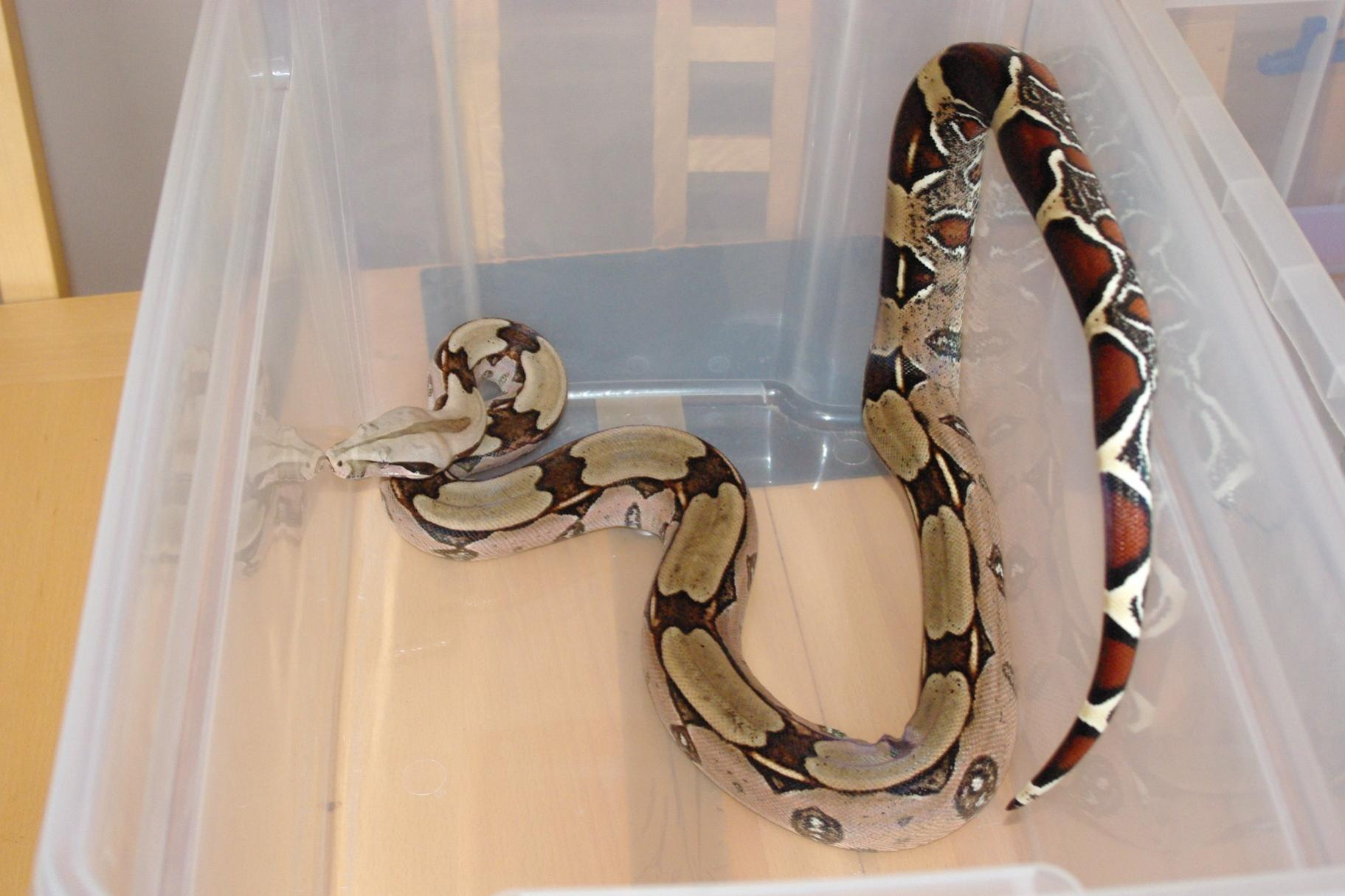 SE England True Guyana Red Tail for swap BCC - Reptile Forums