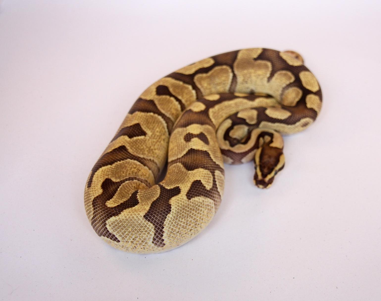 SE England Ball python morphs for sale - Reptile Forums