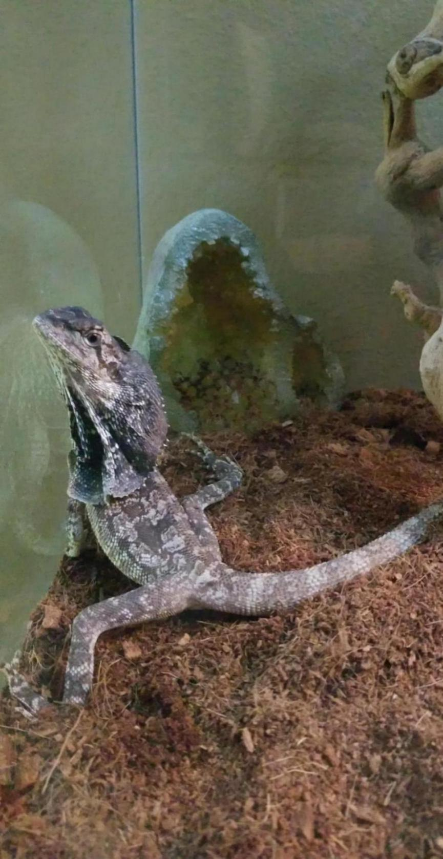 Male or Female frilled dragon?-snapchat-276603003_1528738805632.jpg