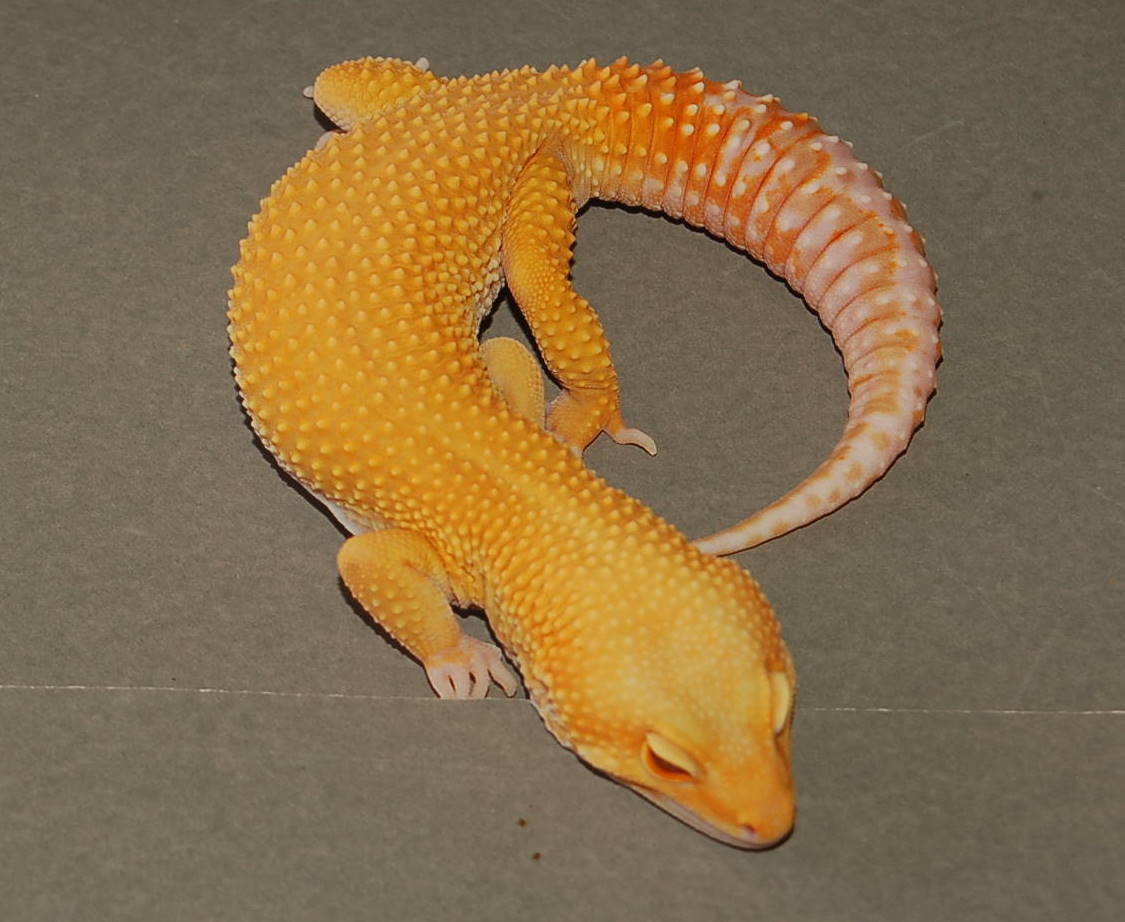 Het Raptor Leopard Gecko