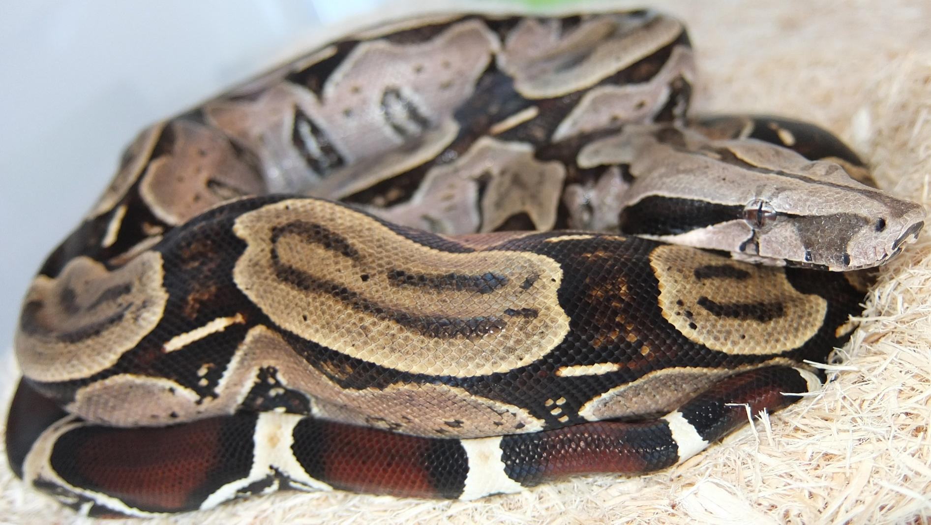 True Red Tail Boa True Red Tailed Boas Bcc