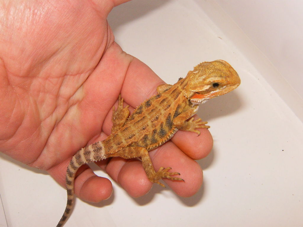 nw england translucent orange tiger baby bearded dragon