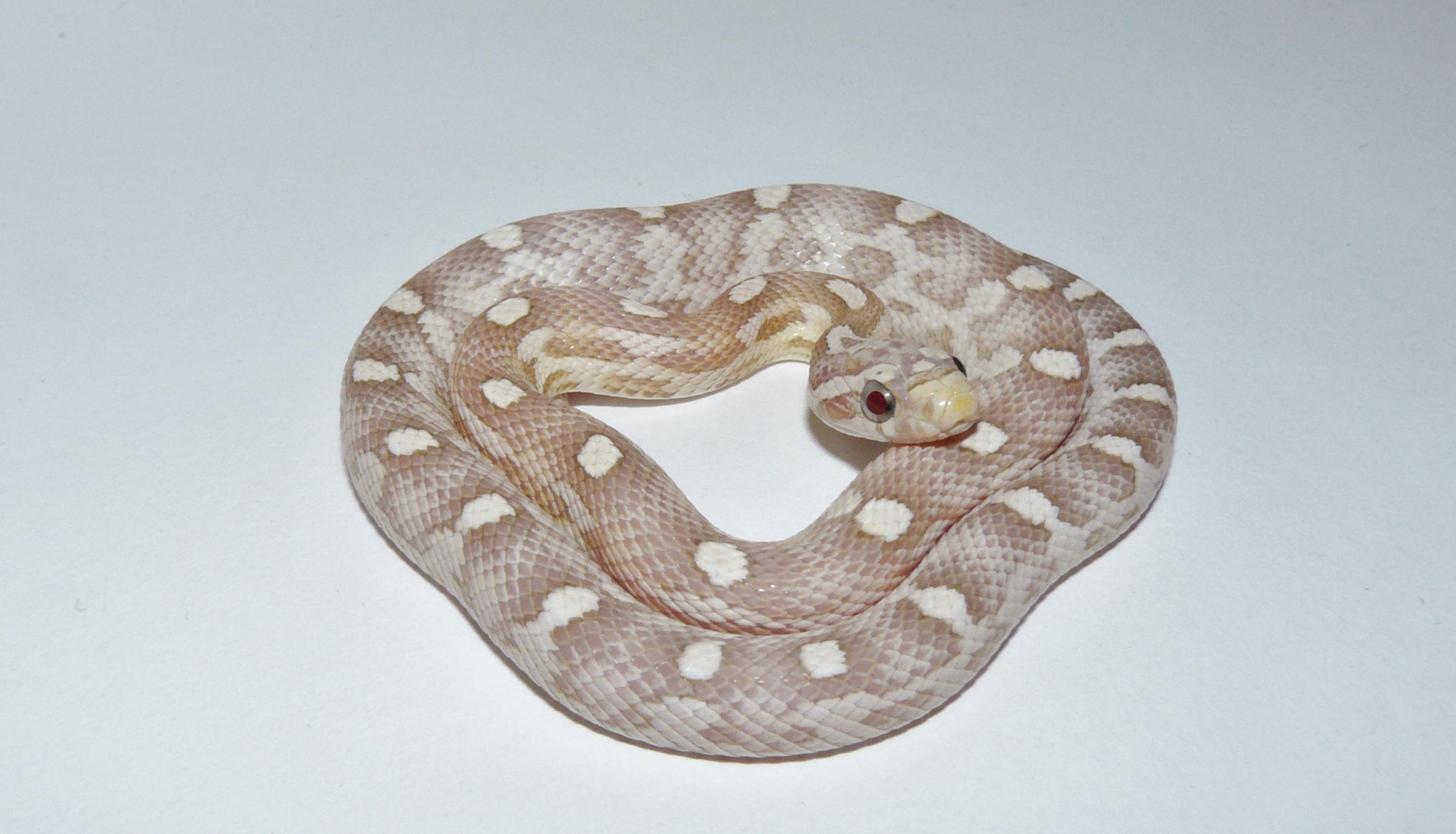Ultramel Corn Snake Corn Snakes Ultramel Anery