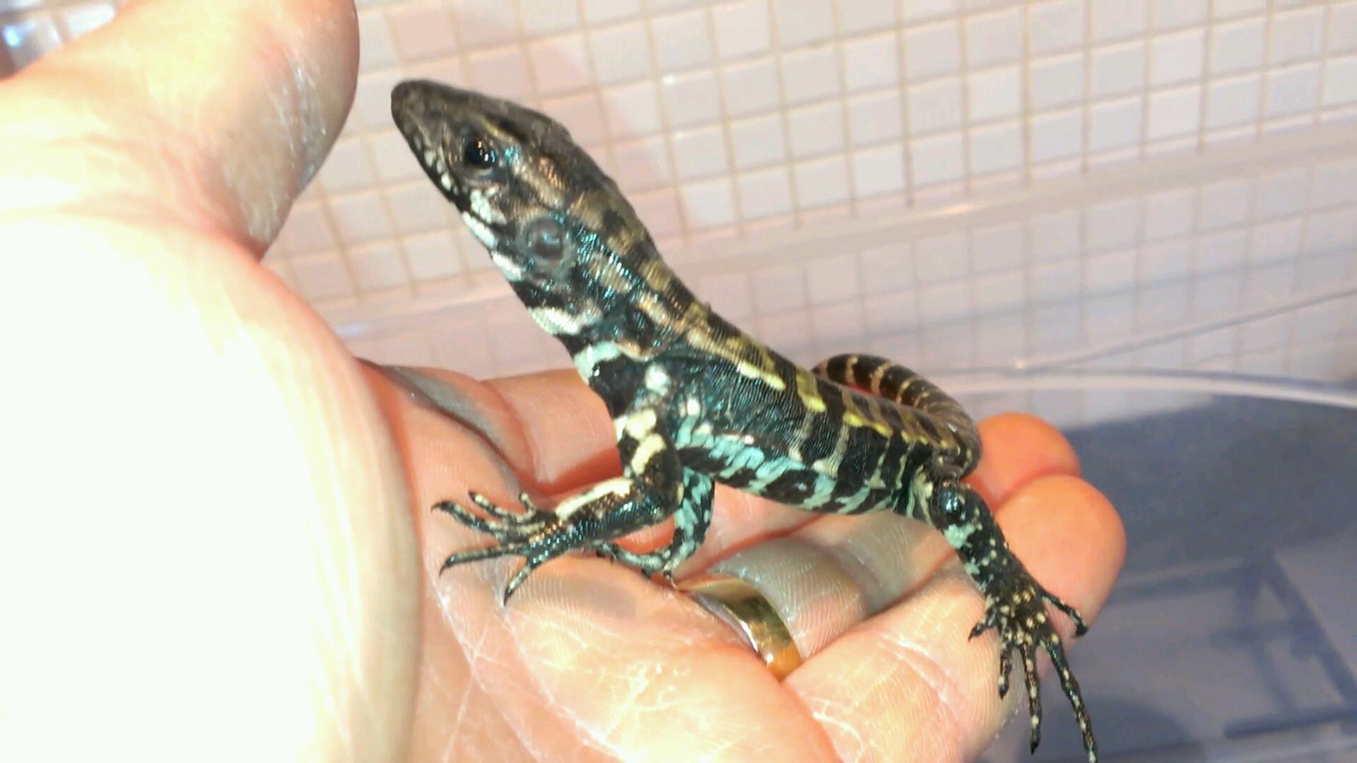 E Midlands blue tegu hatchlings for sale - Reptile Forums