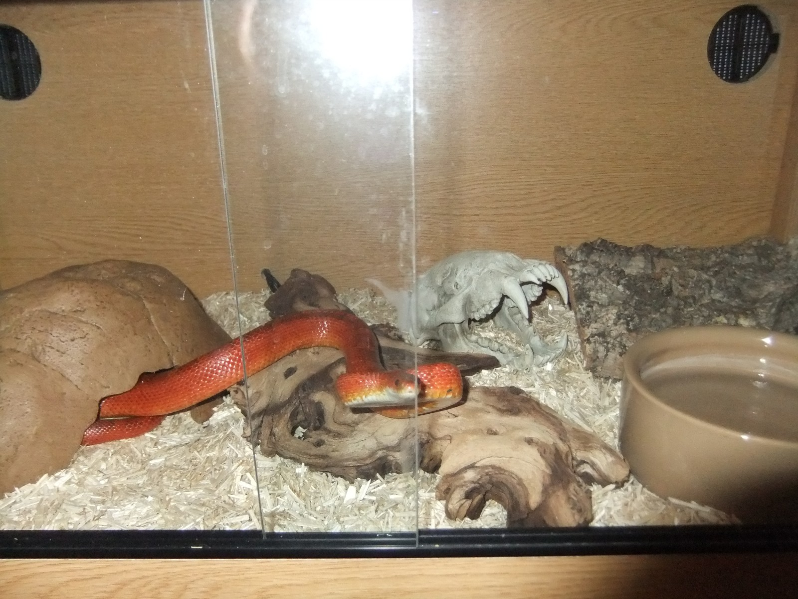 Pair of Bloodred corn snakes with two quality vivarium set ups-vivarium01.jpg