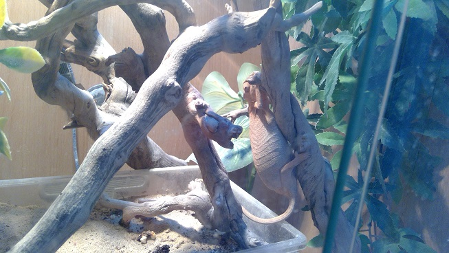 Pair of Panther Chameleons for sale, comeplete setups-win_20171212_14_48_05_pro.jpg