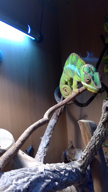 Pair of Panther Chameleons for sale, comeplete setups-win_20171212_14_48_44_pro.jpg