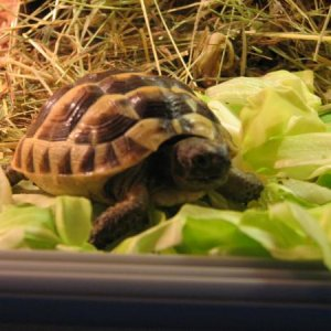 greek spur thigh tortoise