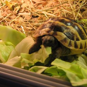 posidon my greek spur thigh tortoises doing what he does best .... eating