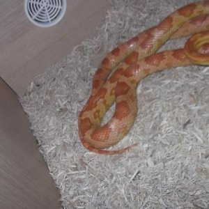 WHATS THE MORPH? This one is the female