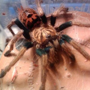 Scarlet    Chromatopelma Cyaneopubescens Green Bottle Blue