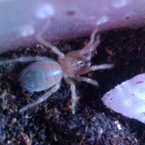 Sally    Brachypelma Auratum Mexican Flame Knee