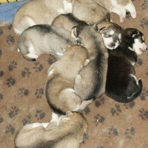 Wayakins pups 12 days including all the puppies in other pics