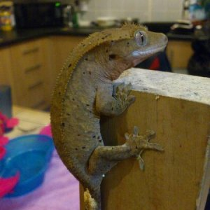 mrs potts  female dalmation (red and black spots) crested gecko cb11 2
