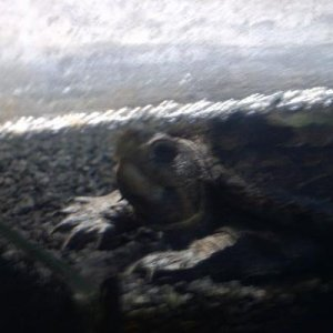 Female Mud Turtle