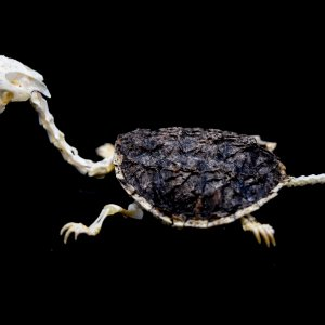 Snapping Turtle Skeleton.jpg