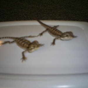 Both of the bearded dragons together