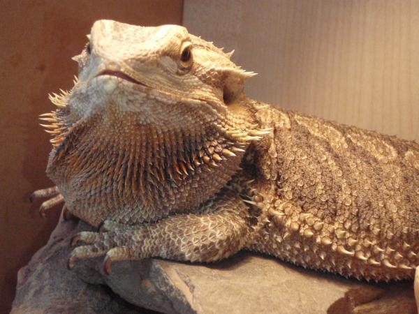 Dragon With Beard bearded dragon swollen...