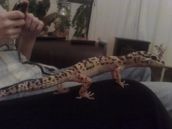 Base my crazy fast skinny excess TLC recieving gecko.