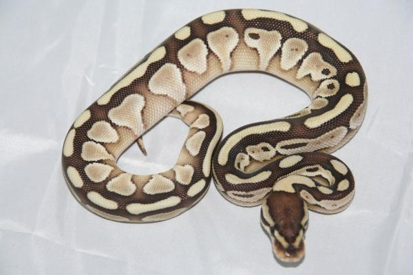 CB13 lesser woma male