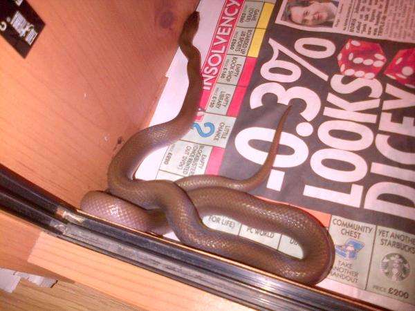 house snake female