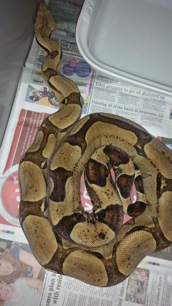 SE England Various Boa Morphs/hets kahl and VPI - Reptile Forums
