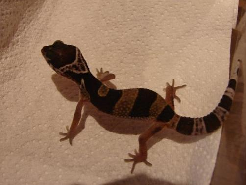 My best friend loves my gecko's so much he is buying one, and this is her! Het patternless albino from Geckomania. Check it out!