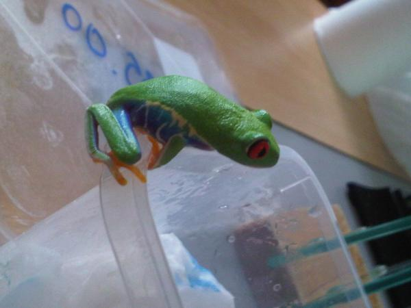 my new red eyed tree frog