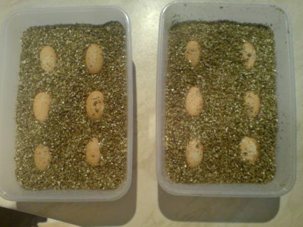 occellatus eggs (none made it)