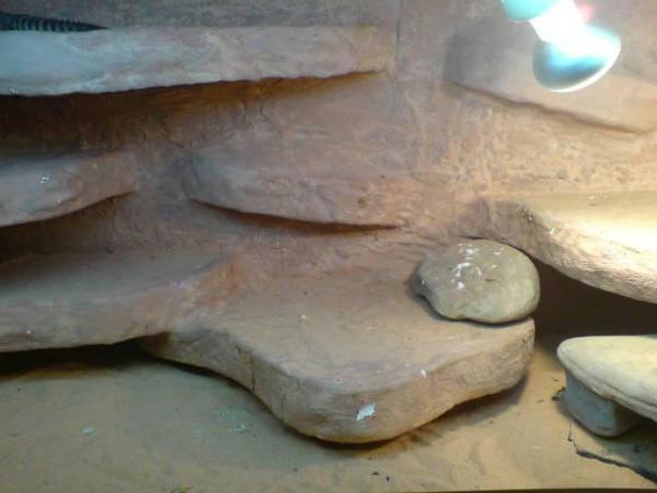 occellatus enclosure