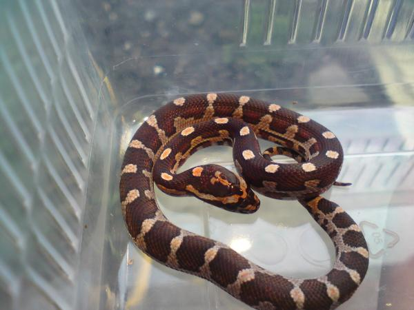 one of our bred normals -funky pattern - (Died as did most o the clutch rip)