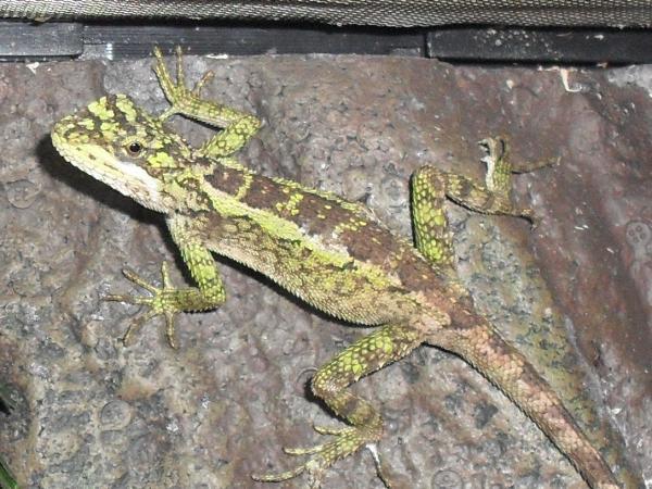 Ne England Japalura Splendida Chineseneon Tree Dragon Reptile Forums