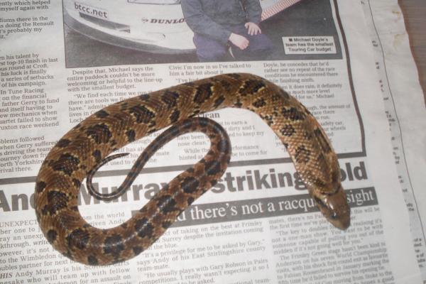 Venom False water cobra